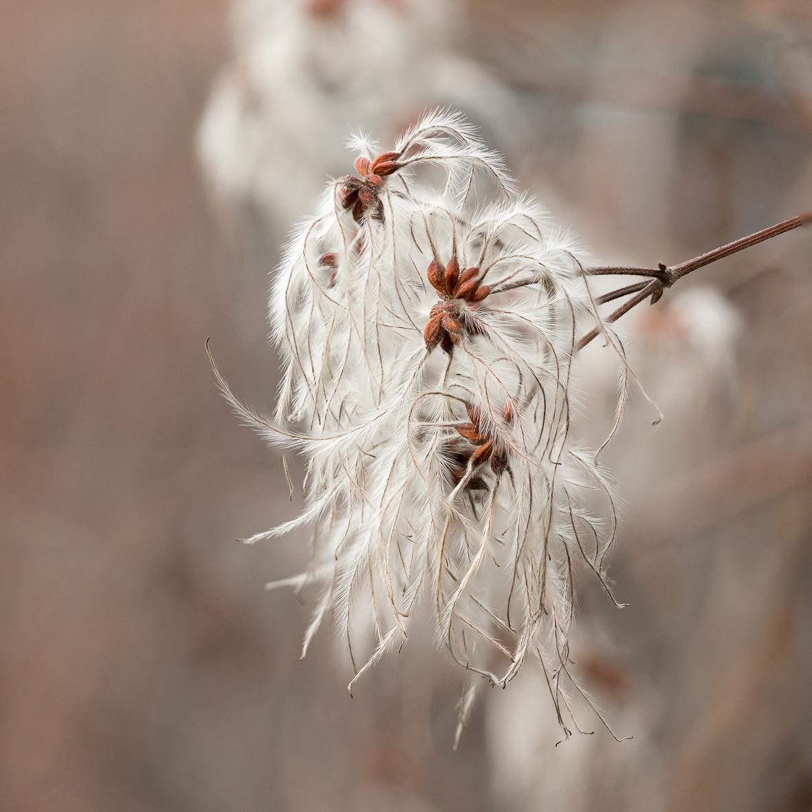 Clematis-microphylla